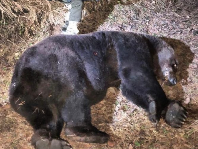 The corpse-eating bear was shot